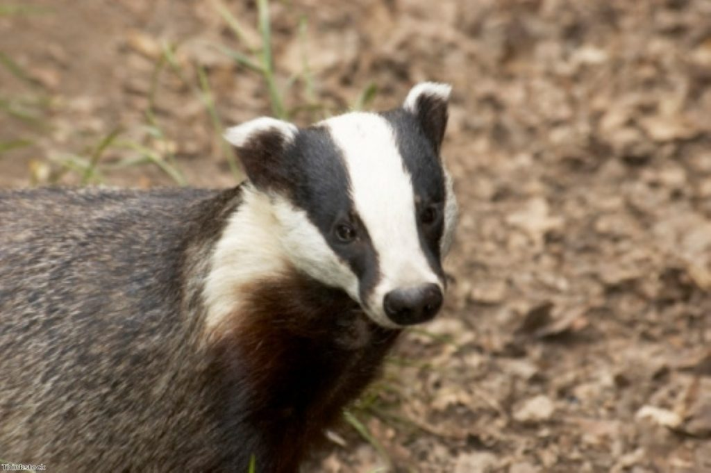 The government is understood to have killed 2,476 badgers during the pilot