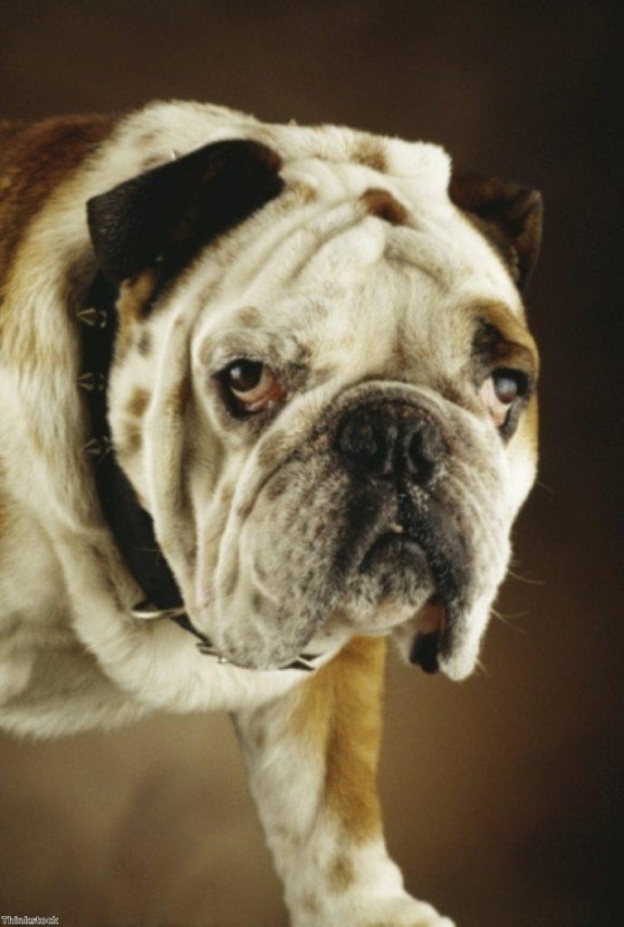 British Bulldog: Going the way of the dodo?